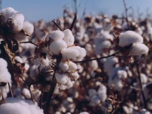 cotton bush